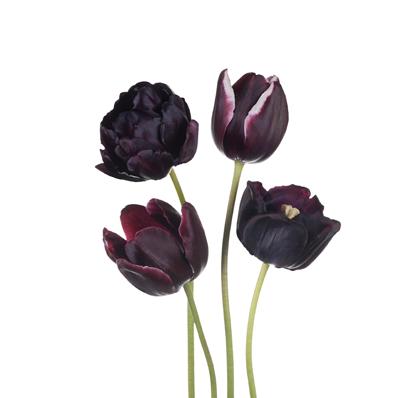 Extracto de Tulipán de Noche