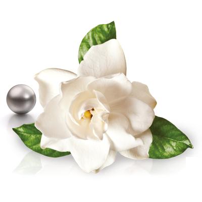gardenia jasminoide