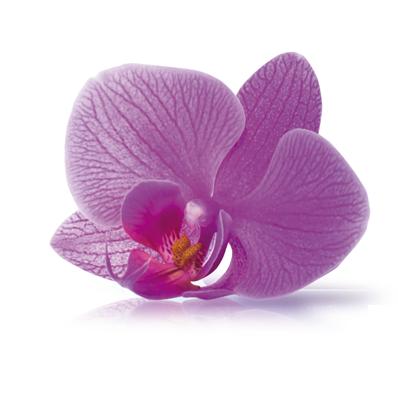 Células Madre Vegetales Orquídea Asiática