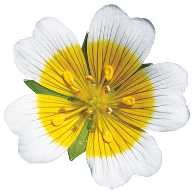 aceite de semilas de meadowfoam